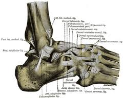 foot ligaments.jpg